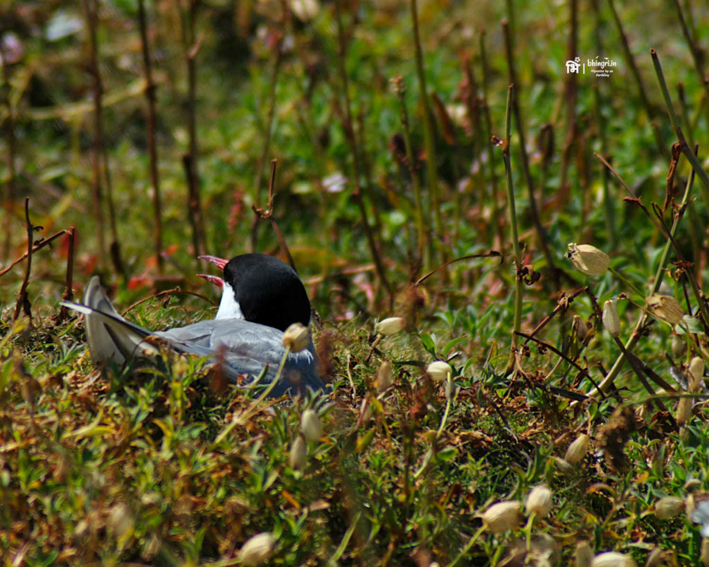 Arctic Terns protect their nests aggrassively. I was on the receiving end of their aerial attacks more than once.