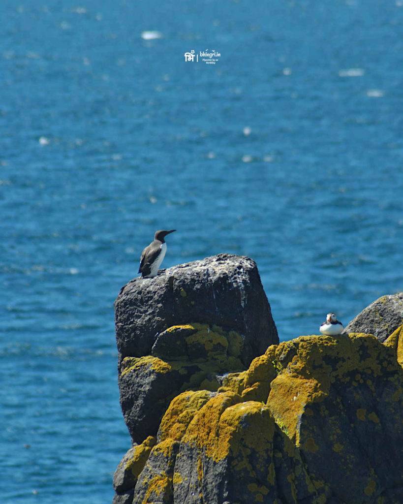 A guillemot and a puffin basking in the sun