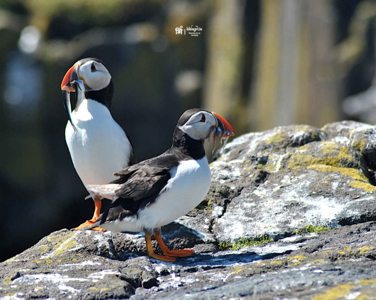 Puffins all around