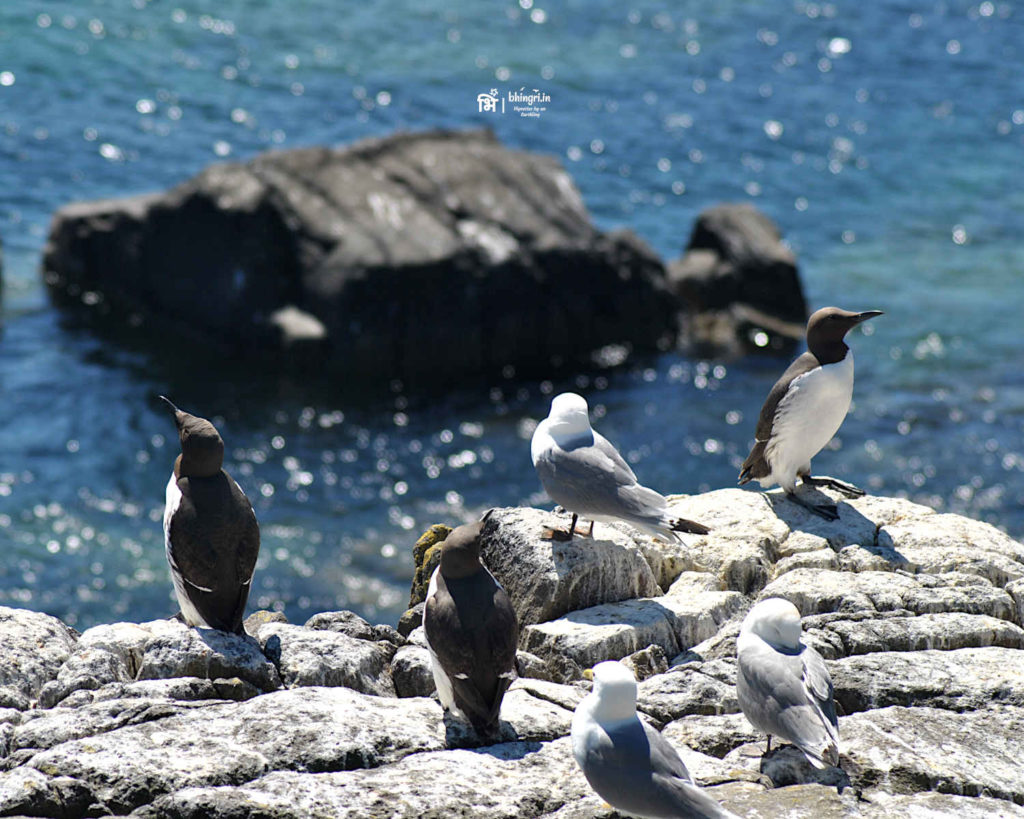 A group of kittiwakes (bottom right), and guillemots soaking in the sun