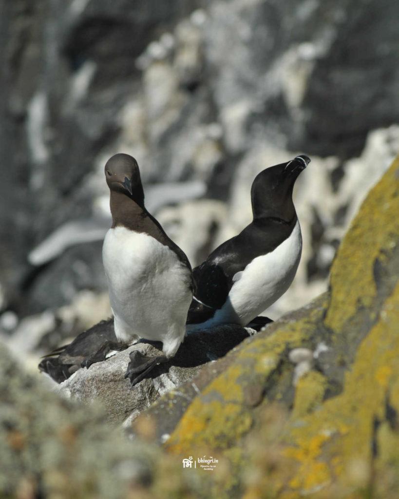 A razorbill( right) and a guillemot share a rock