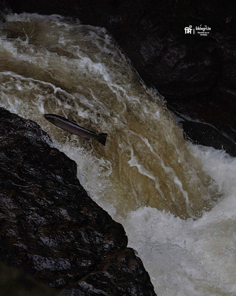 It is certainly hard swimming upstream and up a waterfall. This one almost made it to the upper side of the stream.