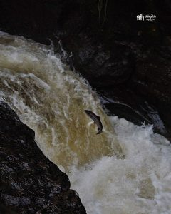 Atlantic Salmon leaping up a waterfall